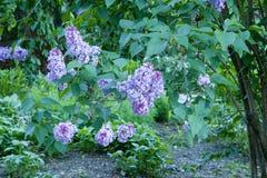 Purpurfärgad lila i trädgården royaltyfria bilder