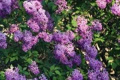 Purpurfärgad lila i trädgården royaltyfria foton