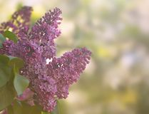 Purpurfärgad lila med suddig bakgrund, grunt djup av fältet Royaltyfria Foton