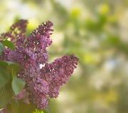 Purpurfärgad lila med suddig bakgrund, grunt djup av fältet Royaltyfri Bild