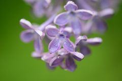Purpurfärgad lila trädfilial Royaltyfri Bild