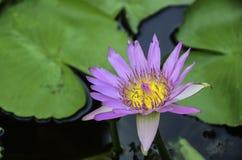 Purpurfärgad lilja Arkivfoton