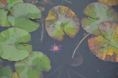 Purpurfärgad lilja Arkivfoto