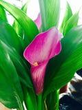Purpurfärgad lilja för rosa calla Arkivfoton
