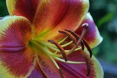 Purpurfärgad liljablomma Royaltyfri Fotografi