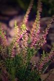 Purpurfärgad ljung för höst som är upplyst vid morgonsolen arkivfoto