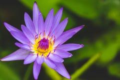 Purpurfärgad Lotus†‹, royaltyfria foton