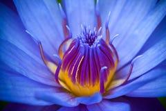 Purpurfärgad lotusblomma Arkivfoton