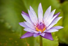 Purpurfärgad lotusblomma Arkivbilder