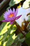 Purpurfärgad lotusblomma Royaltyfria Foton