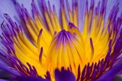 Purpurfärgad lotusblomma Royaltyfria Bilder