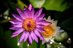 Purpurfärgad lotusblomma Fotografering för Bildbyråer