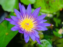 Purpurfärgad lotusblomma Royaltyfri Bild