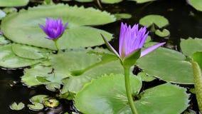 Purpurfärgad lotusblomma arkivfilmer