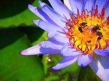 Purpurfärgad lotusblomma Arkivfoto