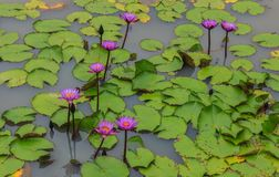 Purpurfärgad lotusblomma Royaltyfri Fotografi