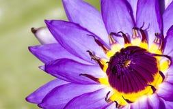 Purpurfärgad lotusblomma i den härliga dammfisken Arkivfoto