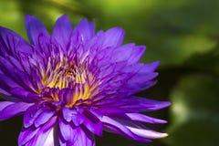 Purpurfärgad lotusblomma i den härliga dammfisken Royaltyfria Bilder