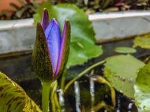 Purpurfärgad lotusblomma i krukor Arkivfoton