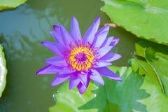 Purpurfärgad lotusblomma i lagun Fotografering för Bildbyråer