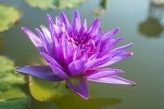 Purpurfärgad lotusblomma i sjön Royaltyfria Bilder