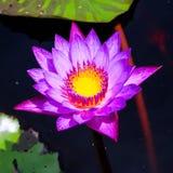 Purpurfärgad lotusblomma i trädgård Royaltyfria Bilder