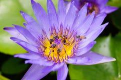 Purpurfärgad lotusblomma med bin Fotografering för Bildbyråer