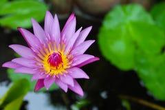 Purpurfärgad lotusblomma med gult ljus i vatten Arkivfoto