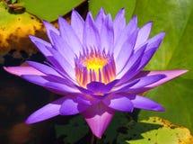 Purpurfärgad lotusblomma med ljus i det Arkivfoto