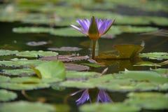 Purpurfärgad lotusblomma med reflexion i vatten Royaltyfri Bild