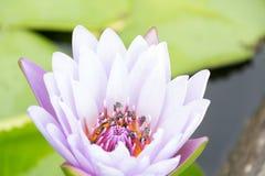 Purpurfärgad lotusblomma och bi Royaltyfri Foto
