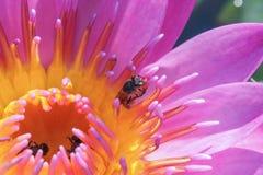 Purpurfärgad lotusblomma och ett bi Arkivbild