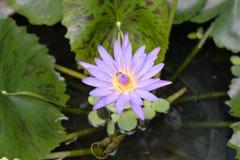 Purpurfärgad lotusblomma på dammet med biet Arkivbild