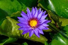 Purpurfärgad lotusblomma som blommar i trädgården royaltyfria bilder