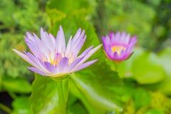 Purpurfärgad lotusblommablomma, näckros och droppar av regnvatten. Fotografering för Bildbyråer