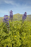 Purpurfärgad lupine och grönt gräs i vårkullar av det Figueroa berget nära Santa Ynez och Los Olivos, CA Royaltyfria Foton