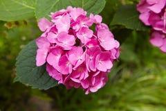 Purpurfärgad macrophylla för vanlig hortensiablommavanlig hortensia som blommar i vår och sommar i en trädgård royaltyfri foto