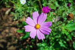 Purpurfärgad magentafärgad blomma Arkivbild
