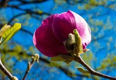 Purpurfärgad magnolia i vår Fotografering för Bildbyråer