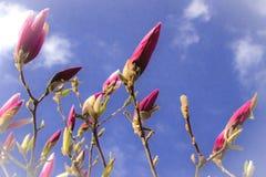 Purpurfärgad magnoliablomning för vår på bakgrund för blå himmel Arkivbilder