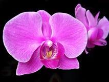 Purpurfärgad malorkidé för härlig blomma, Phalaenopsis i mörker arkivfoton