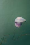 Purpurfärgad manet som svävar i grönt vatten Fotografering för Bildbyråer