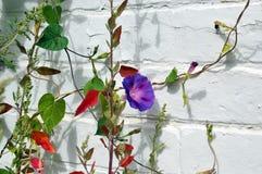 Purpurfärgad morgonhärlighet Royaltyfria Bilder