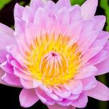 Purpurfärgad näckros eller lotusblomma Royaltyfri Foto