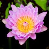 Purpurfärgad näckros eller lotusblomma Arkivbilder