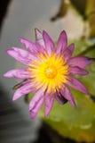 Purpurfärgad nymphaea Lotus Arkivbilder