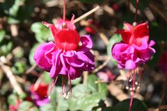 Purpurfärgad och röd Fucsia blomma Arkivbild