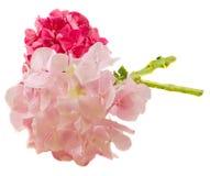 Purpurfärgad och rosa hortensia, vanlig hortensia blommar, stänger sig upp isolerad vit bakgrund Royaltyfria Foton
