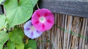 Purpurfärgad och rosa ipoemablomma arkivfoto