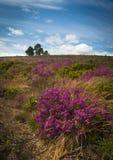 Purpurfärgad och rosa ljung på den Dorset heathlanden royaltyfria foton